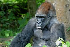 King (Gorilla at Monkey Jungle) DSC_0223 (blthornburgh) Tags: gorilla florida miami monkeyjungle thornburgh