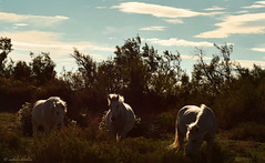 un trait de lumire... just a ray of light on your mane... (www.nathalie-chatelain-images.ch) Tags: light horses freedom lumire libert chevaux camargue