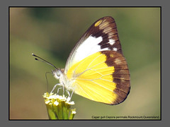 Gulls,Jezebels & Albatrosses (Douglas Dew butterflies) Tags: caper gull cepora perimale