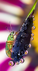 Life on a Leaf (Don Komarechka) Tags: macro nature insect refraction gazania waterdroplets weevil barberry mpe