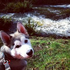puppy (ameliabeare) Tags: creek puppy malamute alaskanmalamute