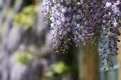 Wisteria (janroles) Tags: blue england white bokeh wisteria