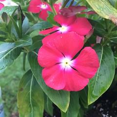 VINCA (King Kong 911) Tags: vinca cloudssunriseflowersmockingbirdsoundsbirdsiphone6s