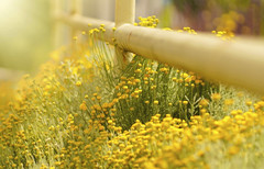 Let the Light Shine (charhedman - off for a couple of days) Tags: flowers light macro yellow fence rust bokeh fencefriday