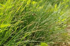 Wald-Gras; Bergenhusen, Stapelholm (141) (Chironius) Tags: stapelholm bergenhusen schleswigholstein deutschland germany allemagne alemania germania    ogie pomie szlezwigholsztyn niemcy pomienie commeliniden ssgrasartige poales ssgrser poaceae gras grser herbe gramines grass grasses erba   pooideae
