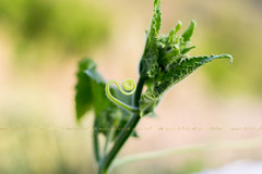 cucumber leafs with spiral (Maria Dattola) Tags: summer macro nature horizontal closeup garden spiral daylight leaf bokeh gardening details seasonal nopeople copyspace focused freshness cucurbitaceae cultivated warmcolors cucumberplant partofplant mariadattola