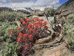 Indian Paintbrush (Jeffrey Sullivan) Tags: california road camera trip travel copyright usa jeff apple mobile photo spring phone indian united may cellphone blogger images sierra wildflowers states sullivan eastern paintbrush iphone 2016 6s iphoneography iphone6splus