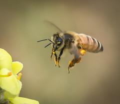 In your Eye Bee. (Omygodtom) Tags: flower detail macro eye nature yellow insect outdoors nikon flickr natural bokeh wildlife bee tamron animalplanet tamron90mm d7100 macromonday elitebugs