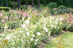 11822888_10153099686647076_5549210675262815427_o (jmac33208) Tags: park new york roses rose garden central schenectady