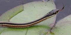 Ribbon Snake at Kittatinny (Tombo Pixels) Tags: newjersey snake nj ribbon ribbonsnake twb1 kittatinnyvalleystatepark kvsp kittatinny160281