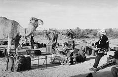 RAD20160610_011 - Munga Thirri Expedition, Simpson Desert AUS  (Kodak BW400CN) (Cecilia Temperli) Tags: rad20160610 arollinadayadayinaroll australia camelexpedition camels trekking desert packcamels film kodak kodakbw400cn nikon nikonfm3a simpsondesert mungathirrisurveyexpedition dromedary australiandesertexpeditions