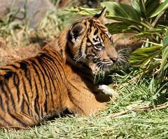 Debbie (greekgal.esm) Tags: california baby animal cat mammal cub feline sony tiger bigcat debbie sumatrantiger sandiegozoo safaripark carnivore escondido tigertrail sal70300g sandiegozooglobal endextinction a77m2 a77mii