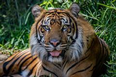 Teddy (ToddLahman) Tags: canon teddy tiger tigers sumatrantiger safaripark escondido canon100400 tigertrail sandiegozoosafaripark canon7dmkii