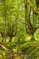 Otzarreta Basoa, Pagoak,Gorbeiako Natura Parkea, Zubizabala Erreka, Altzusta, Zeanuri, Bizkaia, Euskal Herria (Basque Country). 2016.07.03 (Tx.rekords.EH.) Tags: naturaleza natura bosque bizkaia euskalherria basquecountry baskenland ander basoa hayedo pagoak zeanuri altzusta gorbeiakonaturaparkea txrekordseh otzarretabasoa andertxrekordseh zubizabalaerreka