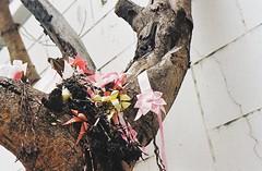 Tree Spirits - Thong Lo, Bangkok (35mm) (jcbkk1956) Tags: street flowers tree film analog 35mm thailand bangkok religion buddhism garland spirits holy ribbon manual superstition offerings carlzeiss kodacolor200 thonglo contaxrts 45mmf28 viagginelmondo worldtrekker