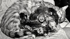 #cats #gattini #gatos (vladydc1) Tags: cats gatos gattini