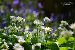 Wild Garlic (Allium ursinum) (Sharon Dow - Arm Op 16th May = No Photography :'-() Tags: uk flowers blue trees wild england plants nature bluebells woodland sussex woods nikon westsussex bokeh britain wildlife south garlic british edible allium ramsons bluebellwoods childhoodmemories southernengland wildgarlic alliumursinum bearsgarlic woodgarlic goosegreen pulborough hyacinthoides 2013 hyacinthoidesnonscripta scillanonscripta ursinum bearleek buckrams thakeham nonscripta endymionnonscriptus broadleavedgarlic d3100 bulbousperennialplant sharondowphotography sharondow