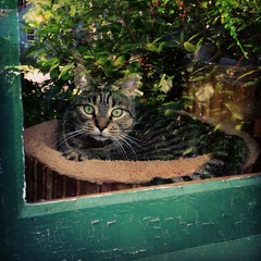 Visiting Lola (liquidnight) Tags: cameraphone camera cats pets reflection window animals oregon eyes feline tabby lola whiskers greeneyes curious katzen windowpane alert iphone observant watchful notmycat stayton iphone5 iphoneography instagram uploaded:by=flickrmobile flickriosapp:filter=nofilter