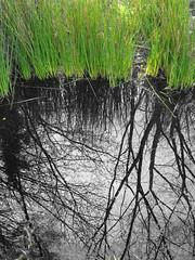 Bog (ambo333) Tags: uk england water grass reeds lagoon peat cumbria bog brampton gelt peatbog lagoons hayton naturalengland geltsdale blackpath geltwoods theblackpath rivergelt unityfarm unitybog unitypeatbog
