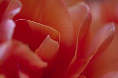 Red Sliced (Djenzen) Tags: red flower canon jeroen rood jansen bloem 40d djenzen