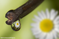 daisy in drop (fabrizio daminelli ) Tags: flower canon natur natura drop fabrizio daisy fiore margherita goccia flickraward5 blinkagain daminelli