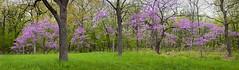 Spring Redbuds (baldwinm16) Tags: nature illinois spring may il redbud floweringtrees easternredbud omot springwoods themortonarboretum natureofthingsphotography