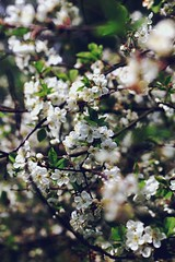 Blossoms (ihavesomanyanchors) Tags: apple season cherry spring warm jahreszeit blossoms may mai bloom cherryblossom bltter apfel frhling frei blten appleblossom kirschblte kirschen blhen apfelblte tumblr