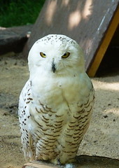 Snowy owl (sansa55) Tags: white snow cold bird nature face animal fauna wings eyes nocturnal snowy beak feathers owl habitat nocturne greedy plumage predatory rapacious predaceous