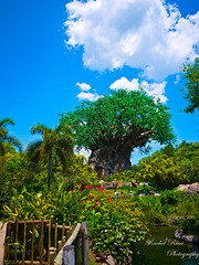 Tree Of Life (Rachel_Ricci) Tags: blue trees sky cloud tree green nature grass leaves clouds leaf orlando florida disney dirt disneyworld waltdisneyworld animalkingdom treeoflife