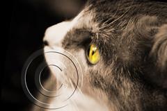 Crystal Eye (Toyita Rivera) Tags: pet nature animals cat eyes gato gata fury toyitarivera