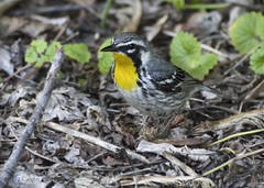 Yellow-throated Warbler-1 (carolyn747) Tags: nature birds woods wildlife wv warblers yellowthroatedwarbler