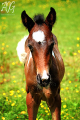 Ararri (AmyyJG) Tags: horses people horse baby cute sports animal animals canon action young riding pony ponies rider equestrian trot canter equine horseriding gallop foal galloping trotting cantering equinephotography equestrianphotography canon550d ajgphotography