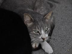 Gato Nervoso (rodrigo miguez) Tags: animal cat gato felino