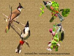 นกปรอดหัวโขน (Red-whiskered bulbul) JPG LARGE