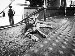 miao ( www.ethanleephoto.com) Tags: life street wild blackandwhite bw cute brick station animal night contrast cat grey mono mix kitten floor little homeless taiwan kitty ground snap tiles handrail taipei gr lovely mrt ricoh shihlin grd monochrone grd3
