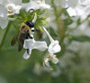 bee on white phlox (Usually Melancholy) Tags: macro insect creativecommons phlox 5655 canonef100mmf28macrousm usuallymelancholy