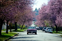 Feeling Cherry (Pennan_Brae) Tags: pink vancouver vintage cherry classiccar blossoms buickskylark