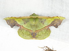 Fascellina plagiata (Walker) (Geometridae, Ennominae) (Scrubmuncher) Tags: fascellinaplagiata moth lepidoptera tamanthi myanmar burma rosspiper mimic mimicry myanmarburmawildburmabbc2expeditionbbcexpeditionrosspiperentomologistentomology htamanthi moths lighttrap