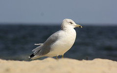 (careohlineuh) Tags: ocean bird beach birds newjersey sand sandy nj sandyhook