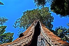 Boole Tree - Converse Basin - Sequoia National Forest - Fresno County - California - 04 May 2013 (goatlockerguns) Tags: california county usa mountains west forest nevada basin sierra national fresno converse western sequoia 2013