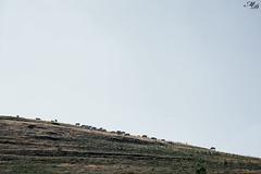 Minimalism - Minimalismo (David Maccaroni) Tags: wallpaper sky italy canon countryside flickr italia sheep earth campagna cielo minimalism terra minimalismo umbria pecore sfondo castelluccio pascolo flickraward canon5dmarkii davidmaccaroni