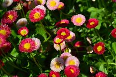 DSC_9775 (kreiZee) Tags: flowers roses flower green miniature scenery colours sheep tulips sydney australia roadtrip nsw canberra colourful act floriade bowral cockington berrima