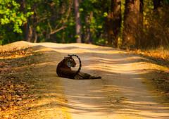 Resting (N i R m A l Y a) Tags: park morning travel copyright india photography nikon wildlife tiger royal d60 kanha nationnal catfamily 2013 royalbengaltiger nirmalya