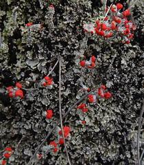 red and grey lichen (tonrulkens) Tags: lichen mozambique mountribaue
