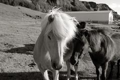* (doistrakh) Tags: travel blackandwhite bw horse monochrome iceland europe finepix fujifilm digitalcamera nordic sland x100 icelandichorse kirkjubjarklaustur nordiccountry   finepixx100