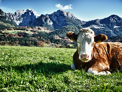 gechillte Kuh / chilled out cow