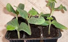 I cetrioli nell'orto, come coltivarli - Coltivare l'orto (giardinaggio) Tags: cetrioli orto coltivare lorto