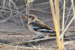 Snow Bunting. (stonefaction) Tags: snow beach nature birds forest scotland fife wildlife bunting faved tentsmuir kinshaldy