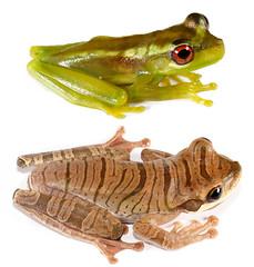 Osteocephalus mutabor (Santiago Ron) Tags: macro ecuador amazon amphibian frog andes sapo rana anura amphibia
