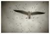 ... (oscarinn) Tags: sky blackandwhite seagulls blancoynegro beauty up birds clouds mexico cielo melancholy gaviotas gaviota islamujeres arriba quintanaroo